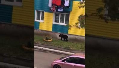 В Макарове застрелили медведя, разгуливавшего поулицам города