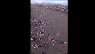 Тысячи морских звезд выбросило наберег вСтародубском