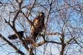 Южносахалинцы наблюдали белоплечего орлана рядом сгородом