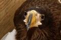 """Уникальную операцию поспасению белоплечего орлана провели сотрудники """"Эксон Нефтегаз Лимитед"""" наСахалине"""