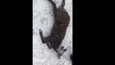 Сахалинцы сообщают озастреленной браконьерами кабарге