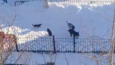 Стая собак слаем иигрушками резвилась натерритории детского сада вОхе