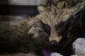 Сахалинцы спасли жизнь енотовидной собаке