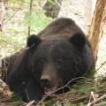 В Корсаковском районе медведя вытащили избраконьерской петли