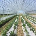 Фермеры изСтарорусского развивают клубничный бизнес иготовятся заложить малиновую плантацию