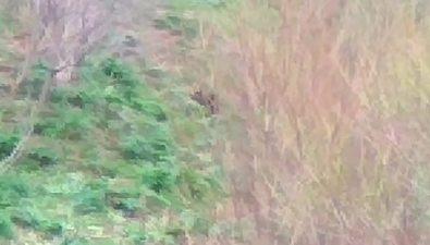 Сахалинцы заметили медвежонка навъезде вНевельск