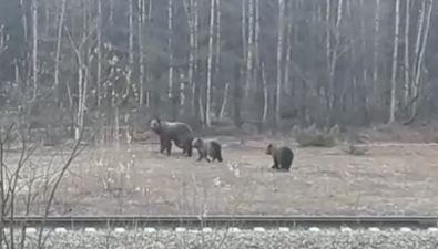 Медвежью семью заметили сахалинцы вНогликском районе