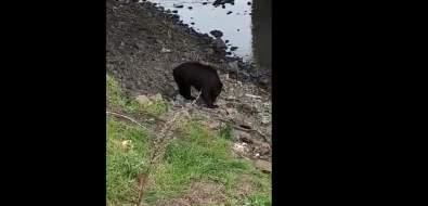 В Горнозаводске рядом сжилыми домами разгуливает молодой медведь