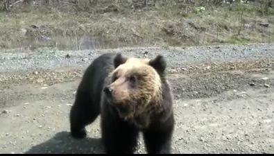 """На дороге вНогликах """"дежурит"""" взрослый медведь"""