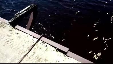 В реке Сабо тоже нашли мертвую сельдь
