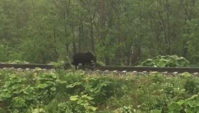 Медвежья семья прогуливалась пожелезной дороге вДолинском районе
