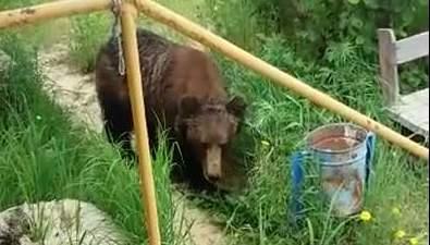 Медведь похозяйничал накухне месторождения Мухто насевере Сахалина
