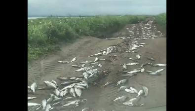Сотни особей горбуши рассыпали надороге вОхинском районе