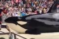 Дальневосточные косатки развлекают посетителей китайского океанариума