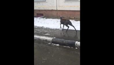 Возле железнодорожной больницы вЮжно-Сахалинске встретили кабаргу