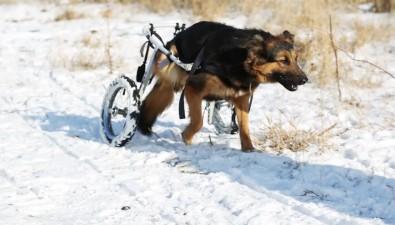 Сахалинские волонтеры реабилитируют собак-спинальников спомощью инвалидных колясок