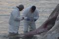 Исследователь Питер вандер Вольф: когда киты застревают наотмели, ничего ужесделать нельзя