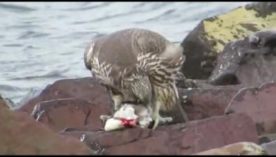 Краснокнижный кречет убил утку-морянку наберегу Курильского пролива