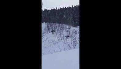 Двух красавцев-оленей заметили сахалинцы удороги насевере острова