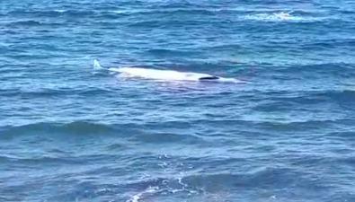У берегов Невельского района намель выбросило большое морское животное