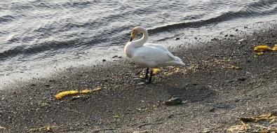 За одиноким лебедем наблюдают жители холмских селСерные Источники иПрибой