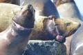 Общественники попросят областное правительство помочь освободить невельских сивучей отмусора исетей