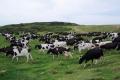 Сахалинских коров перевели налетне-пастбищное содержание