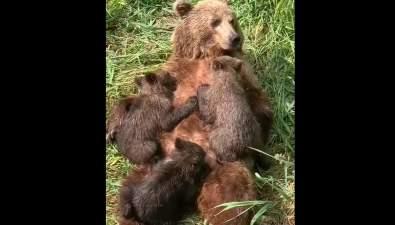 На Сахалине медведица— кормящая мать пришла крыбакам показать свое потомство