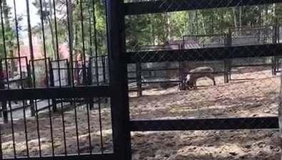 В южно-сахалинском зоопарке олень напал насотрудника