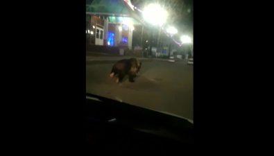 Медведь вышел наутреннюю пробежку наглавную площадь Охи