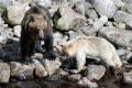 Ученые заметили наКунашире белоснежного медвежонка