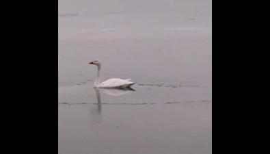Сахалинец увидел наТунайче одинокого лебедя