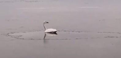 Сахалинец заснял одинокого лебедя наТунайче