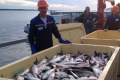 Хабаровский край недосчитался кеты из-за сахалинских рыбаков