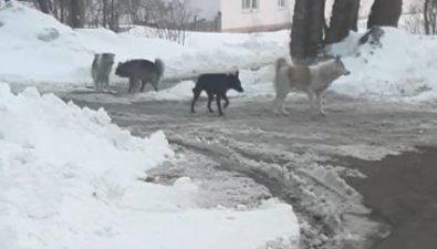 Стая собак терроризирует людей иживотных вАлександровске-Сахалинском