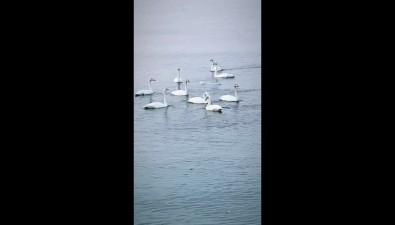 Стая белых лебедей прилетела вОхотское