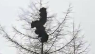 Трех медвежат наверхушке дерева засняли возле села Вал