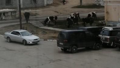 В Охепо двору гуляют коровы