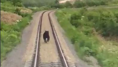 Медведь бежал отпригородного поезда вХолмском районе
