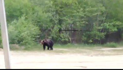 По Валу гуляет медведь