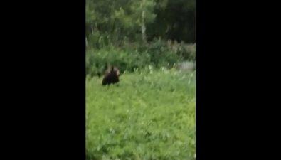 Каждый день, какна работу, медведь приходит кдачникам вТымовском