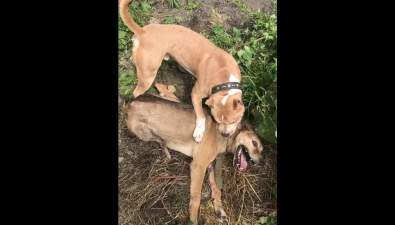 Зоозащитники хотят наказать сахалинца, натравившего стаффа набеспомощную собаку