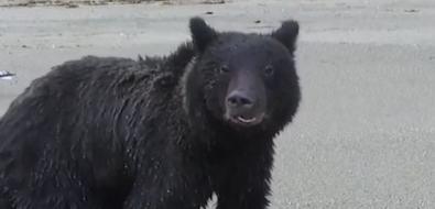 На Сахалине медведь сбил дрон, который застал егоза едой