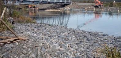 На реке Лесной вПоречье из-за РУЗа массово сдох лосось