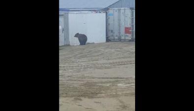 НаСахалине медведь пришел ввахтовый городок