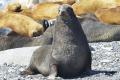 Наострове Тюленьем освободили отпластиковых ошейников четырех морских котиков