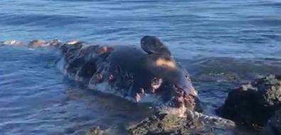 Мертвое морское животное вынесло кберегу вКорсаковском районе