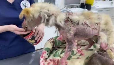 """""""Пес икот"""" превратил умирающего щенка вроскошную собаку иищет ей дом"""