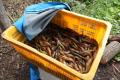 НаСахалине поймали браконьеров, промышлявших чилимом