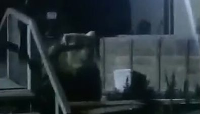 Из-за огромного медведя жители Северо-Курильска боятся отпускать детей гулять